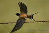 Barn Swallow 5  Aug 25 2017