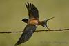 Barn Swallow 5  Aug 25 2017