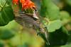 Female Ruby Throated Hummingbird in Honeysuckle Trumpet Flowers 39