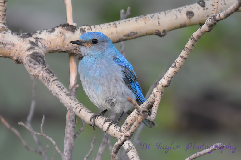Mountain Bluebird Juvenile 2  8 July 2017