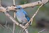 Mountain Bluebird Juvenile 2  8 July 2017