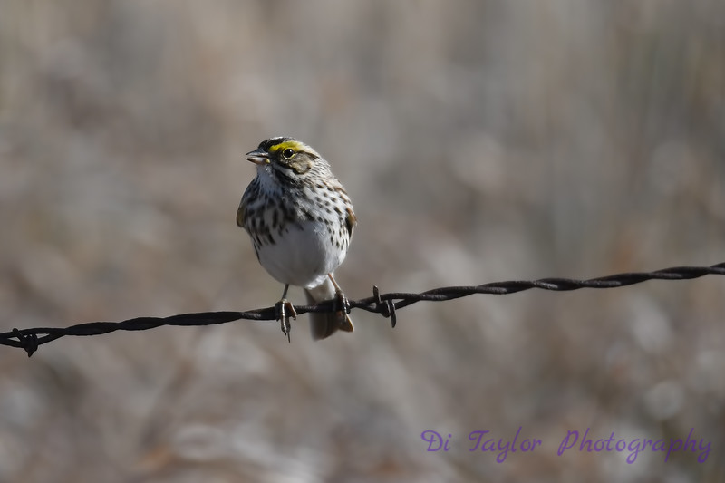 Savannah Sparrow May 3 2018