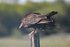 Turkey Vulture 3  June 16 2018