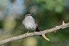 Gray Catbird in tree
