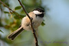 Chickadee in tree Aug 17 2017