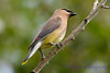 Cedar Waxwing in tree 7
