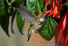 Ruby Throated Hummingbird in Fuschia 2