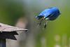 Mountain Bluebird 2  May 19 2018