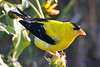 American Goldfinch male eating seeds Aug 18 2017