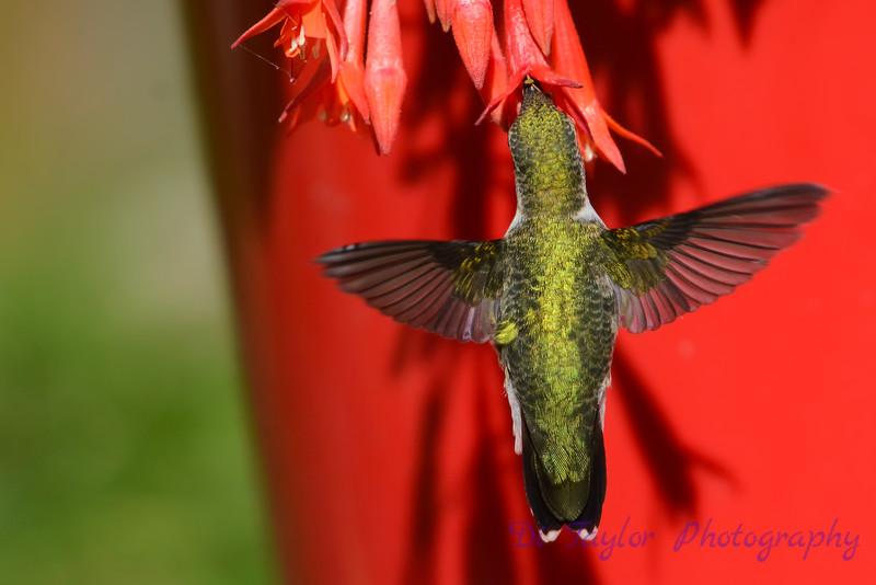 Ruby Throated Hummingbird in Fuschia 11