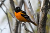 Baltimore Oriole male May 31 2020