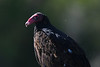 Turkey Vulture 9  June 16 2018