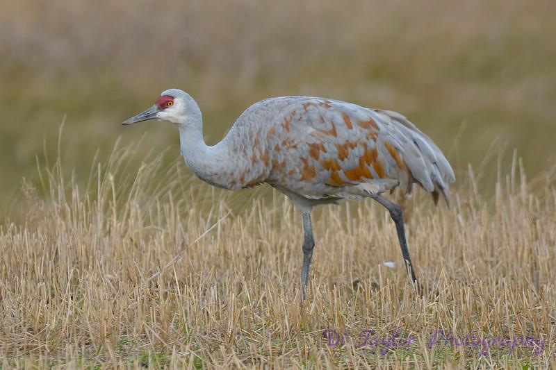 Sandhill Crane 4  Oct 28 2017
