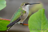 Hummingbird sitting on vine with cobweb