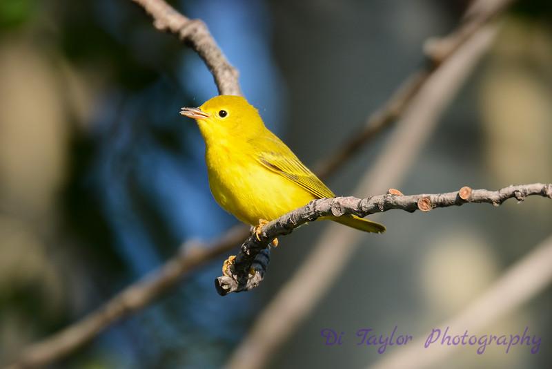 Yellow Warbler 23