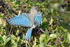 Mountain Bluebird young female  Aug 22 2017