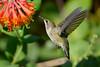 Jeuvenile Ruby throated hummingbird in honeysuckle trumpet vine 2