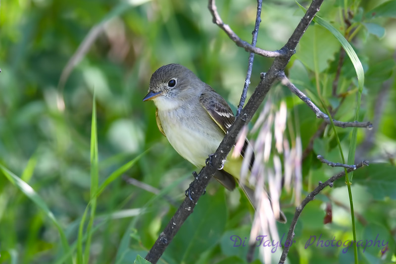 Yellow Bellied Flycatcher 2 July 22 2018