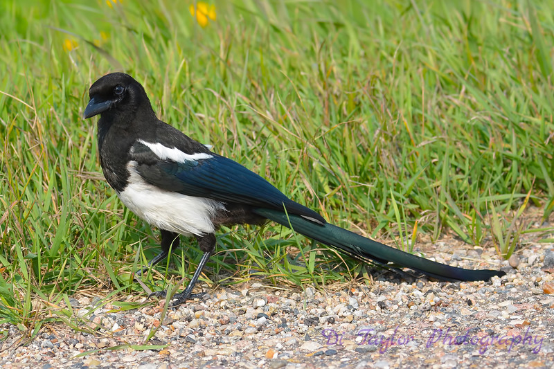 Black Billed Magpie 2  Aug 17 2017