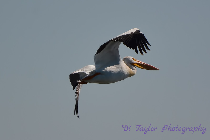 American White Pelican in flight  2  Aug 26 2017