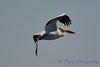 American White Pelican in flight  2  Aug 26 2017