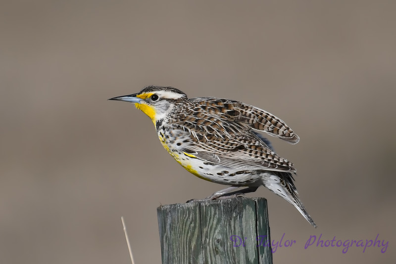 Meadowlark 2  28 April 2018