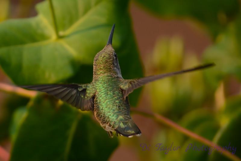 Female Ruby throated hummingbird 17