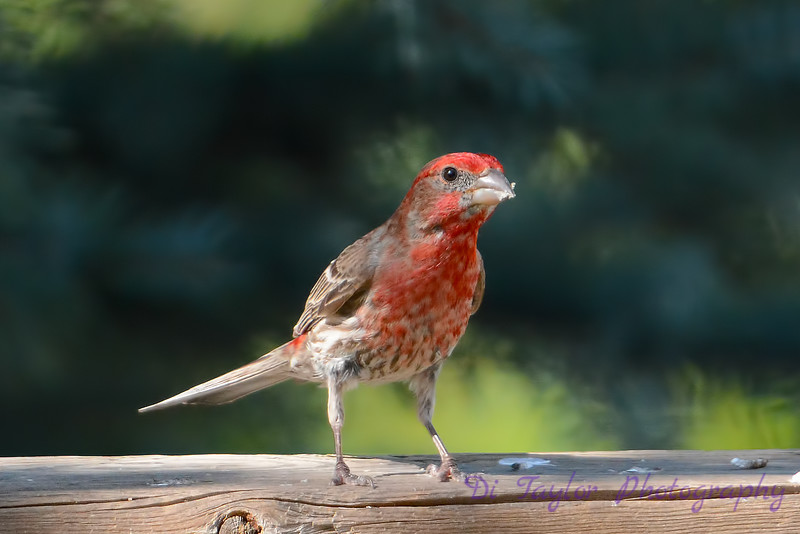 Male House Finch on fence