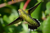 Jeuvenile Ruby throated hummingbird in honeysuckle trumpet vine