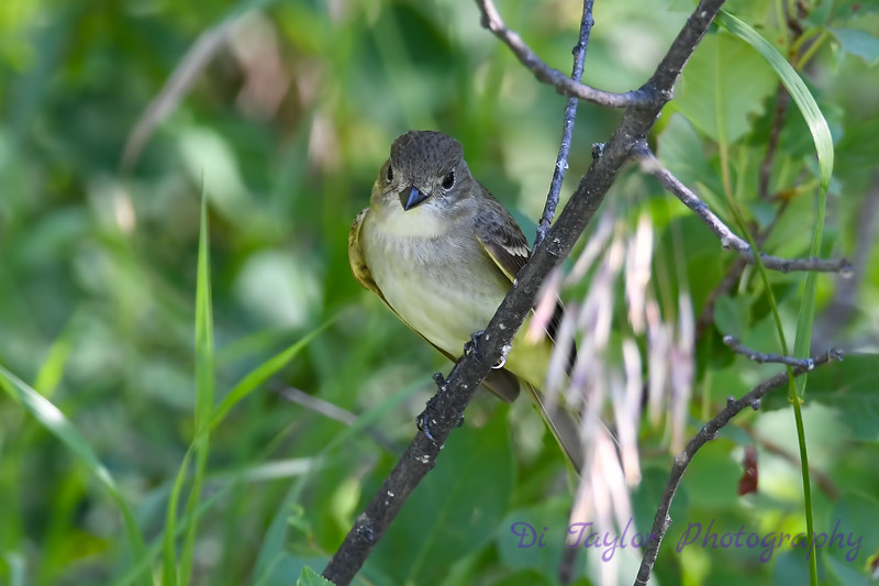 Yellow Bellied Flycatcher July 22 2018