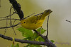 Yellow Warbler  2  28 Jul 2017