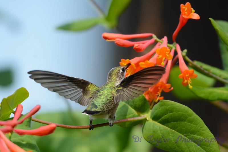 Female Ruby Throated Hummingbird on honeysuckle vine 16