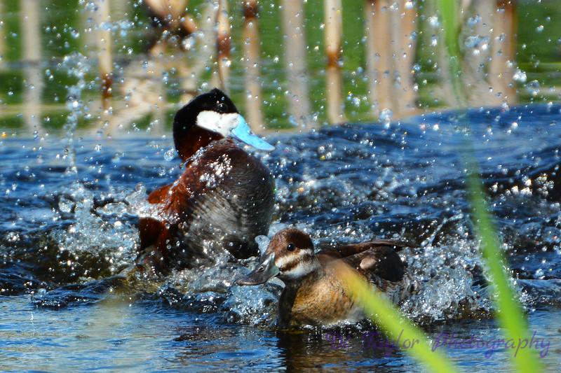 Ruddy Duck Pair 2