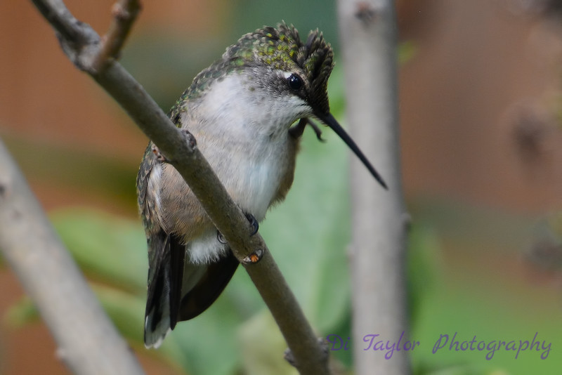 Young Hummingbird with a Mohawk