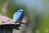 Mountain Bluebird 4  May 19 2018