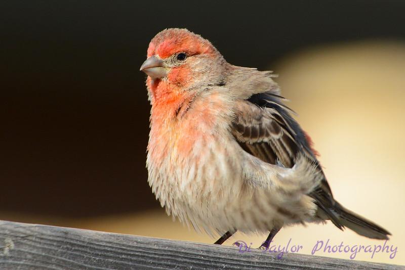 House Finch male impressing female