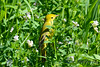 Yellow Warbler in wild flowers