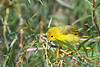 Yellow Warbler 4 Aug 7 2018
