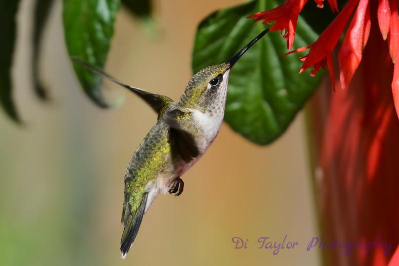 Ruby Throated Hummingbird in Fuschia 3