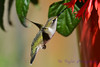Ruby Throated Hummingbird in Fuschia 3