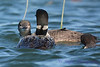 Common Loon adult and 2 juveniles 2  Aug 26 2017