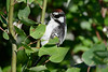 Downy Woodpecker 8