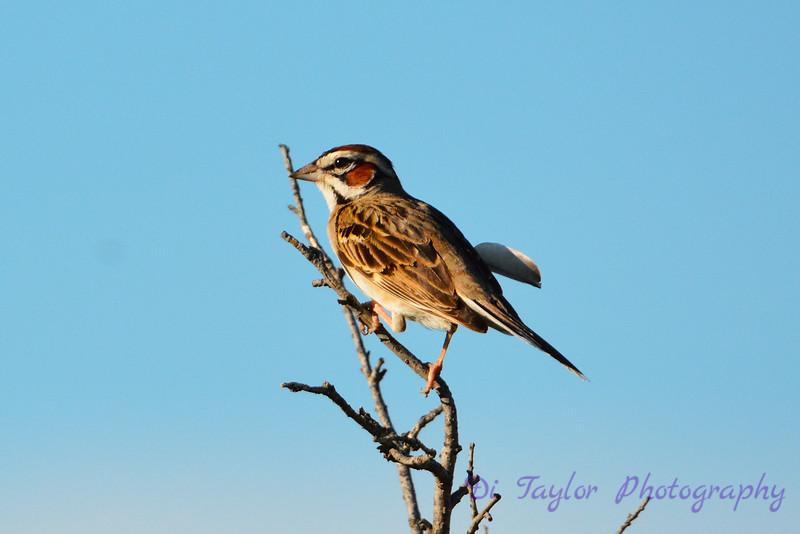 Lark Sparrow in tree