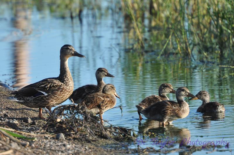Mallard Female and Ducklings