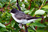 Eastern Kingbird 5