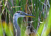 Great Blue Heron close up 2 Aug 2 2020