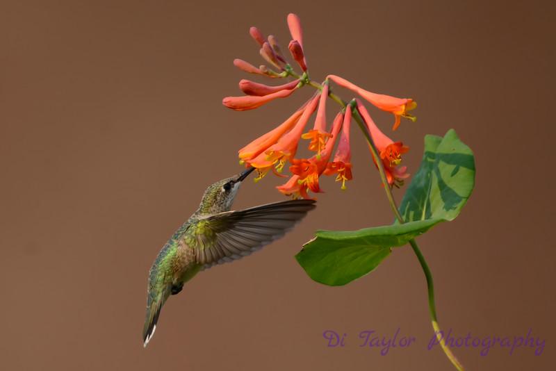 Female Ruby throated hummingbird 12