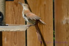 Brown Thrasher at feeder 2