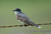 Eastern Kingbird juvenile Aug 14 2017