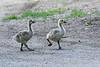 Canada Geese gloslings June 10 2020
